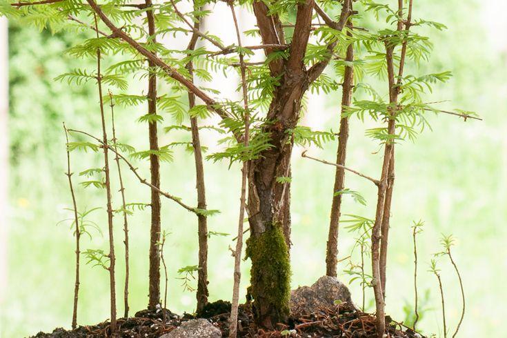 die besten 25 mammutbaum ideen auf pinterest baobab. Black Bedroom Furniture Sets. Home Design Ideas