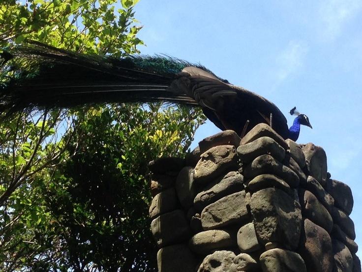 peacock at Tomogashima