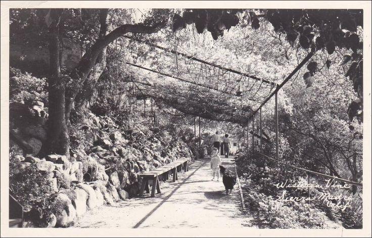 RP: Wisteria Vine , SIERRA MADRA , California , PU-1952