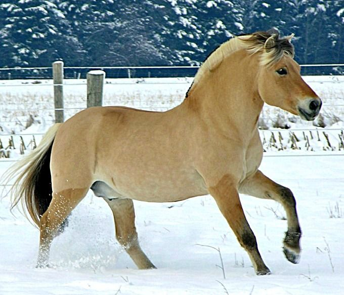 Fjord stallion, Mogly. Winter in Ontario, Canada. Well, Fjords are built for winter in Norway.