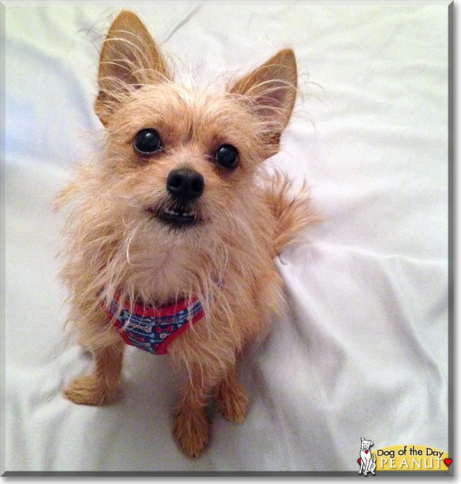 Peanut the Chihuahua/Cairn Terrier Mix, the Dog of the Day