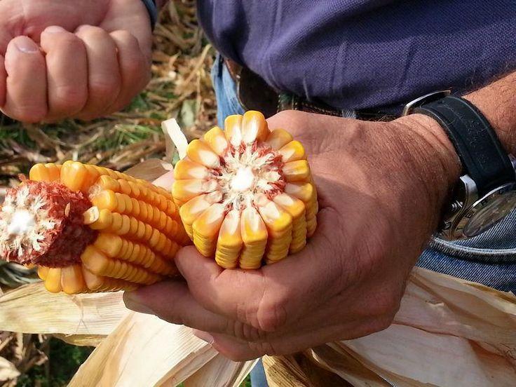 Agricoltura sostenibile: mais che cresce di più con meno