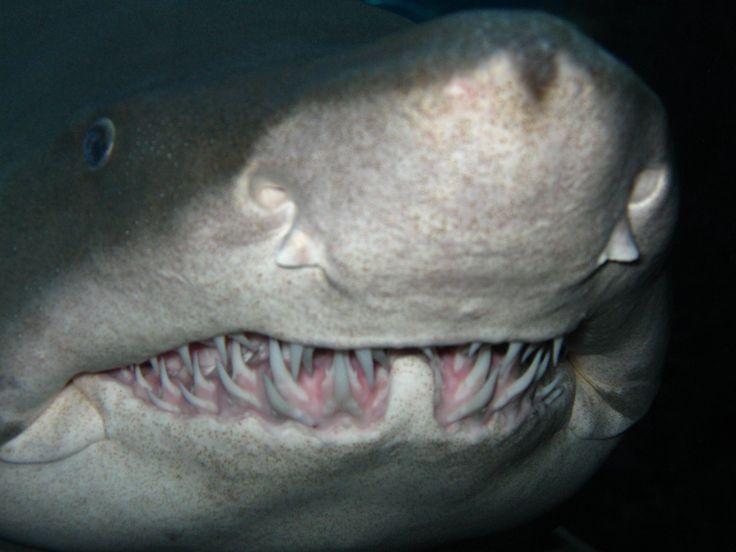 shark teeth - Google Search