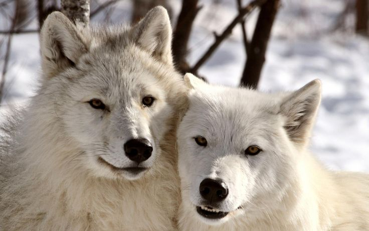 pictures of white wolves | White Wolves