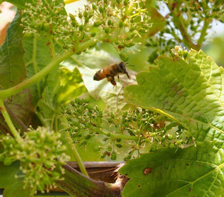 Bee in grape flowers