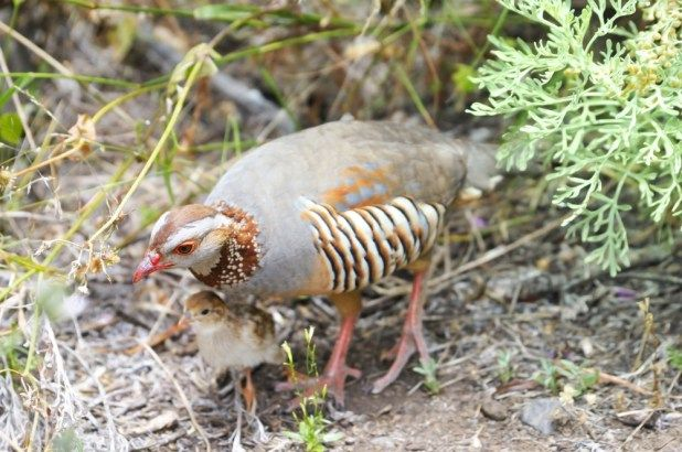 الحجل البربري أو شنار مغربي كل ماتود ان تعرفه حول هذا الطائر طيور العرب Animals