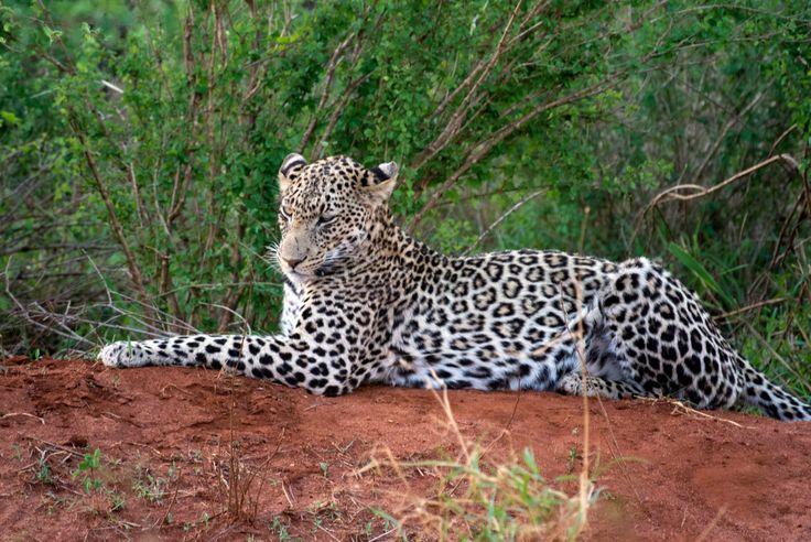 Safari Kenia Leopard