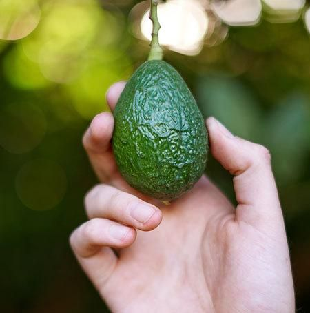 Delicious Avocados Without the Wait - Our Grafted Avocados Produce up to 7 Years Sooner than Seed Grown trees.. We take a hardy avocado root stock and graft on a cutting from a mature avocado tree, proven to produce delicious fruit. So your tree thinks it's grown up and starts making fruit. This is the same process used for...