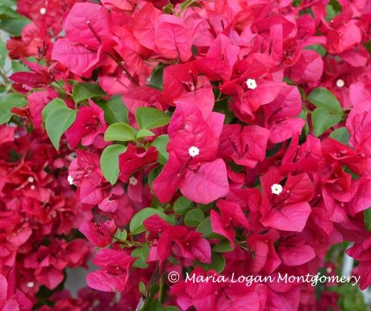 Bougainvillea vines are rapid growers and climbers, and prolific bloomers, but watch out, because they will grow into the soffit and gutters of your home.