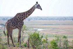 TWA-0000455 © WestPix Giraffe overlooking Chobe Floodplain. Chobe National Park, Botswana. While staying at Ngoma Safari Lodge.