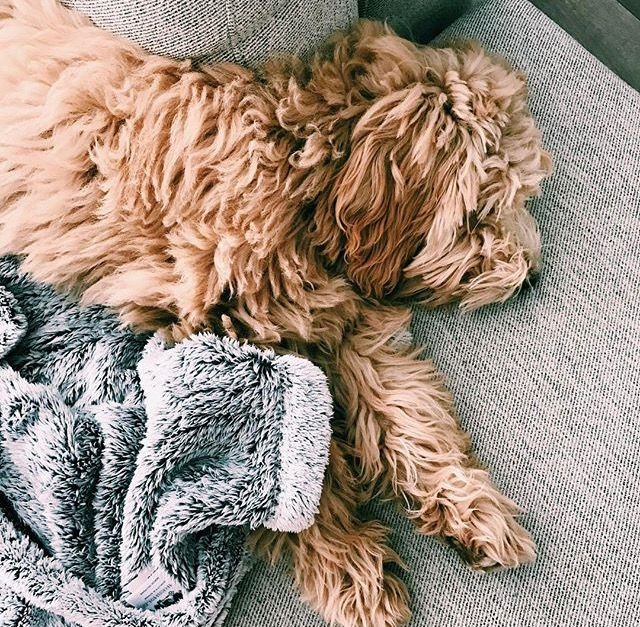 CUTEST PUPPY EVER  #dog #goldendoodle #goldenretriever #pug