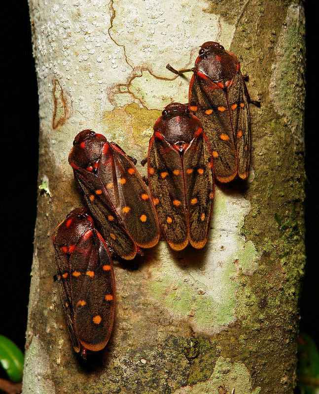 Froghoppers (Phymatostetha sp., Cercopidae, Hemiptera)