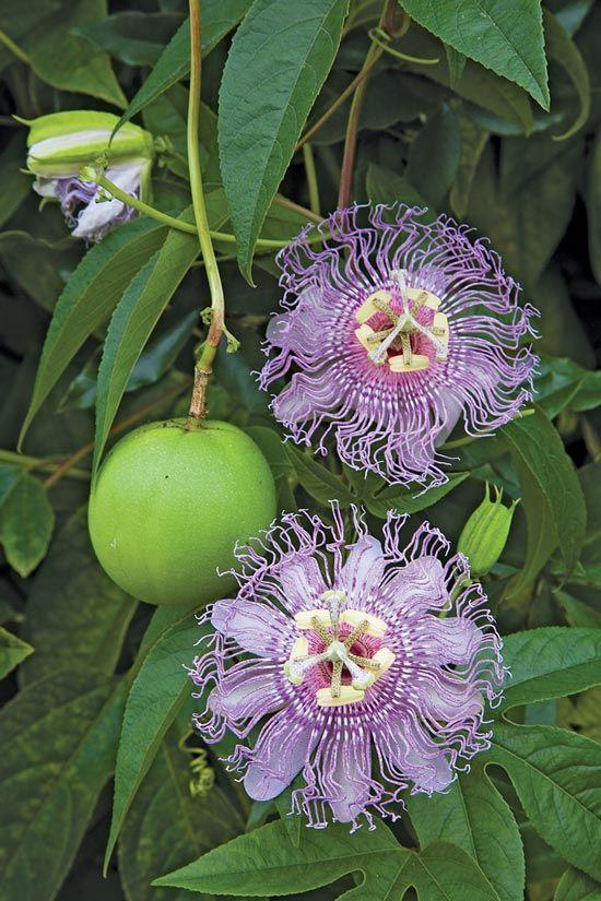 Maypop fruit (Passiflora incarnata) with passionflowers.