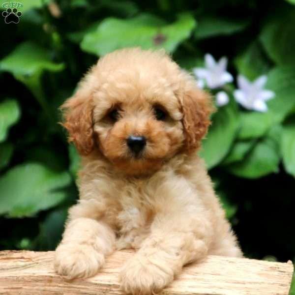 Thomas Cavapoo Puppy For Sale In Pennsylvania Cavapoo Puppies