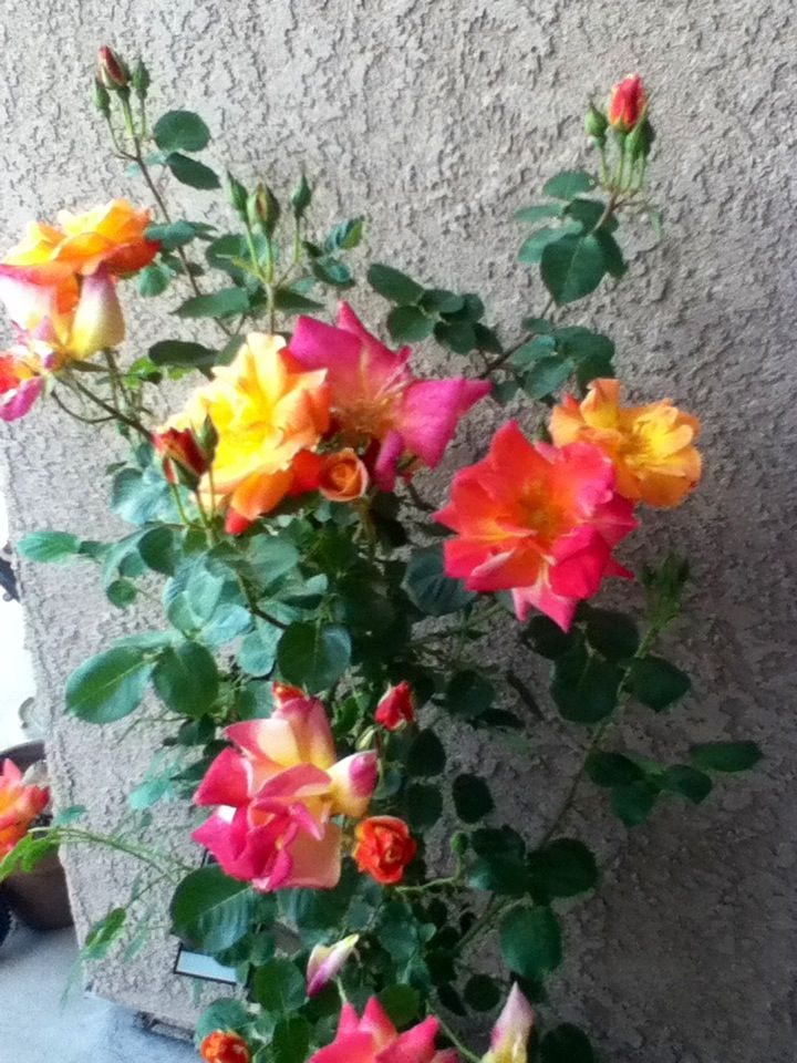 bush haircut 22 best garden roses galore images on 4508