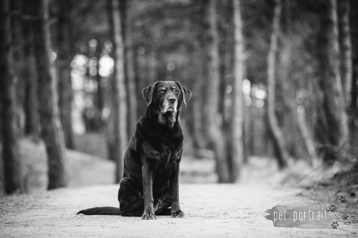 Hondenfotograaf Wassenaar - Labrador Apple-2