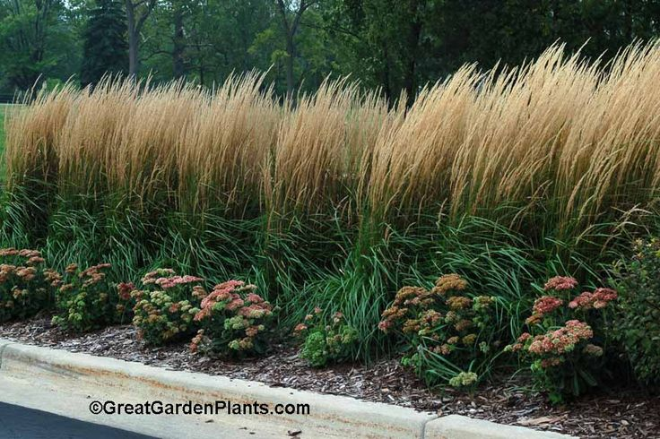 Calamagrostis (Feather Reed Grass) offers 3 seasons of interest planted in a long row.
