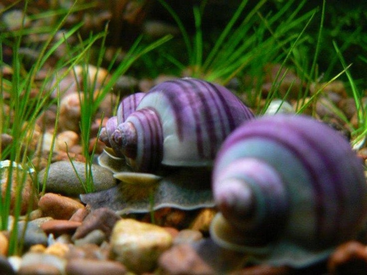 9 best mystery snails images on pinterest fish tanks for Fish tank snails