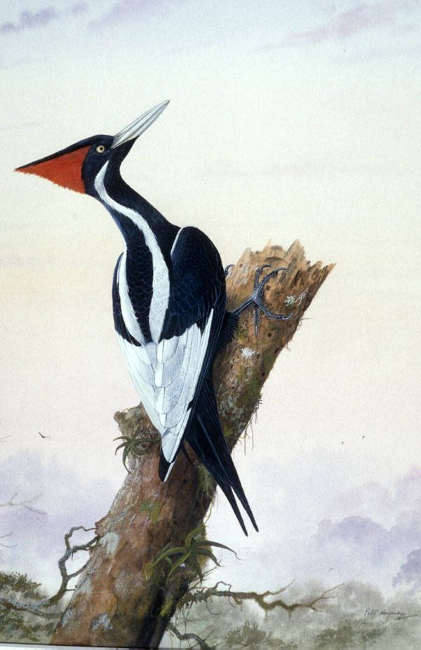ivory billed woodpecker ivory billed woodpecker there have been further claims of