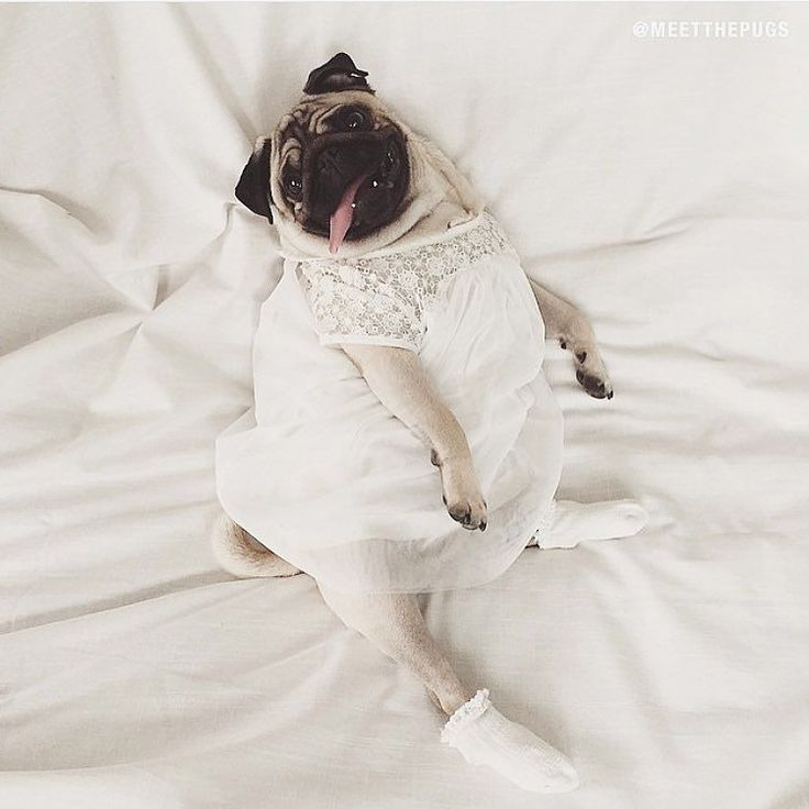 """""""Draw me like one of your french girls"""" - Loulou  #pug #sexy #potd #mops #carlin #carlino #chien #cao #hund #dog #instacute #lol #lmao #WeeklyFluff #perro #puglove #pet #petsofinstagram #aww #omg #rofl by meetthepugs"""