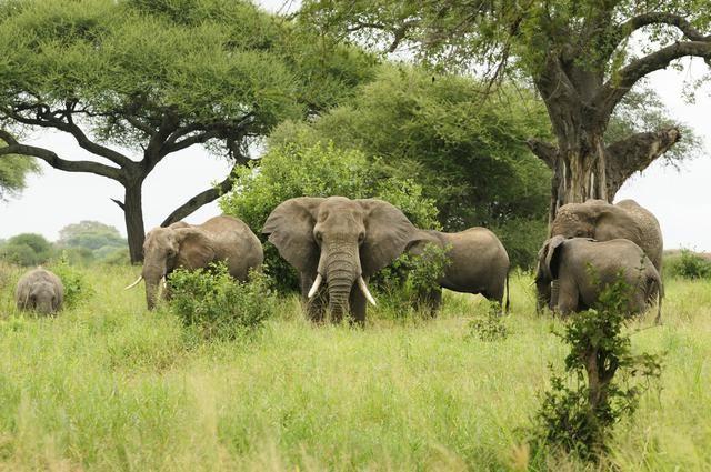 El elefante africano de los bosques, una especie en el anonimato