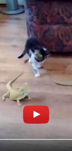Hilarante rencontre entre un chaton et deux lézards.  http://rienquedugratuit.ca/videos/hilarante-rencontre-entre-un-chaton-et-deux-lezards/