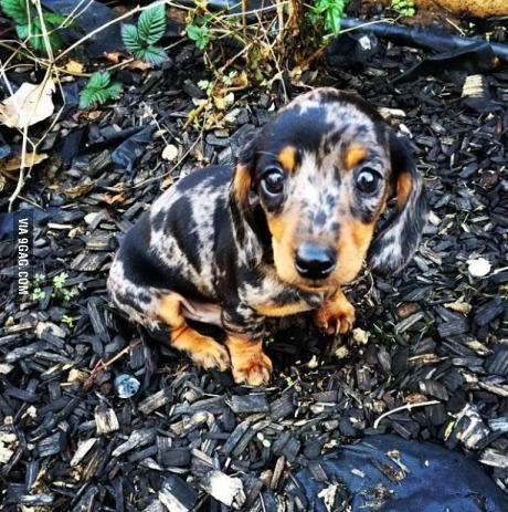 dapple pomeranian 17 best ideas about miniature dachshunds on pinterest 812