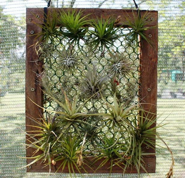 I have bought my Tillandsias- now what? - Rare and Air - Blog Rare and Air