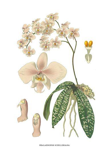 Orchid, botanical illustration.