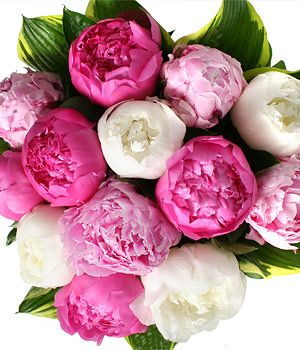 Google Image Result for http://1.bp.blogspot.com/-XSoXopXEpFQ/TVrnXnxZJiI/AAAAAAAAAA4/KqfmYIvtxRU/s1600/mix-peonies.jpg: Colors, Head Cabbages, Plants, Gardens, White Peonies, May Wedding Flowers, Peonies Bouquets, Pink Peonies, Brown Paper Packaging