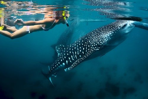 Go swimming with whale sharks