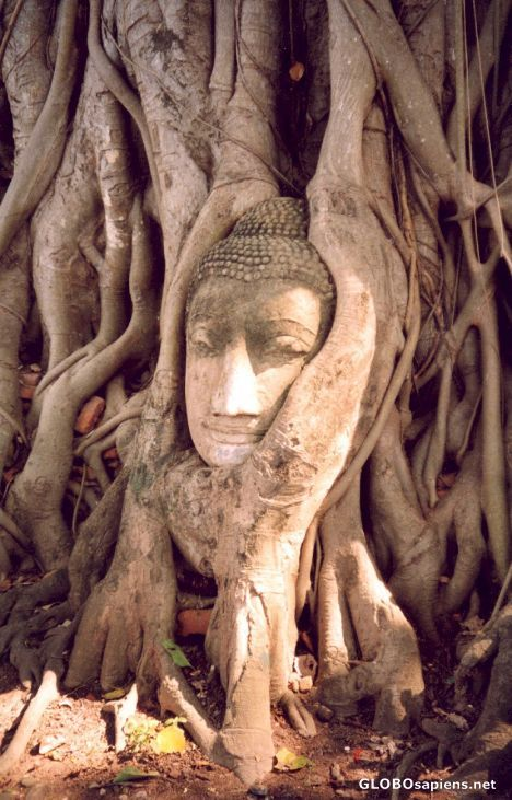 ayutthaya's famous buddha tree