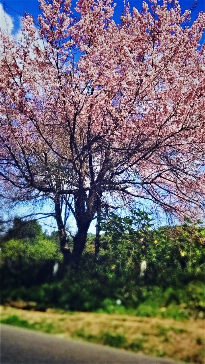Cherry Blossom Tree Upper Shillong Credit To D Khyriem Blossom Trees Cherry Blossom Tree Blossom