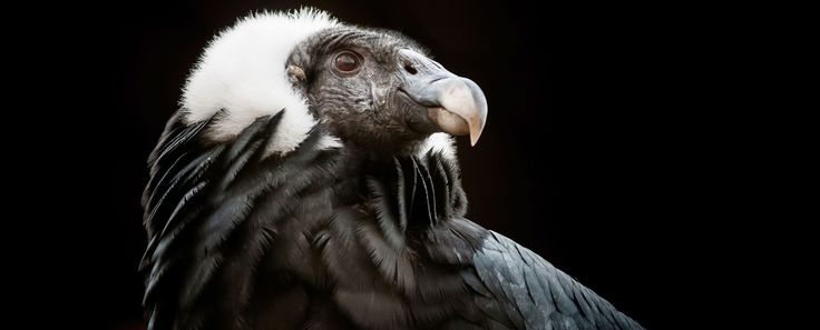 Andean Condor (Vultur gryphus) | Rainforest Alliance