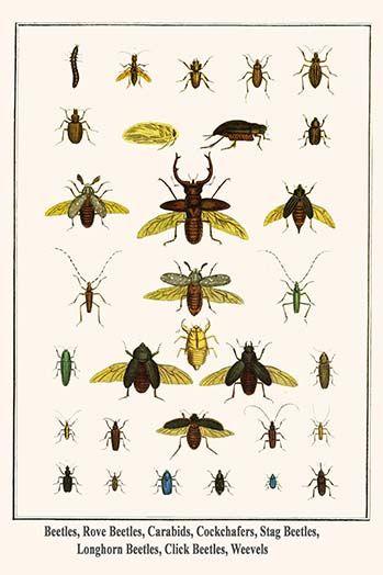 Beetles, Rove Beetles, Carabids, Cockchafers, Stag Beetles, Longhorn Beetles, Click Beetles, Weevels by Albertus Seba - Art Print  #9785872991267 #AlbertusSeba #Buyenlarge #InsectStudies #New