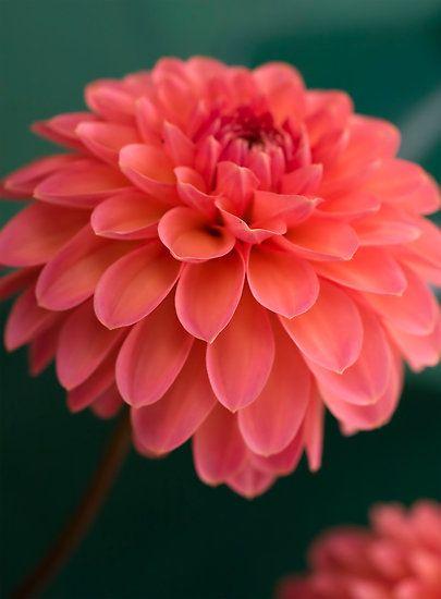 ~~Coral Goddess ~ Dahlia by Jenni77~~
