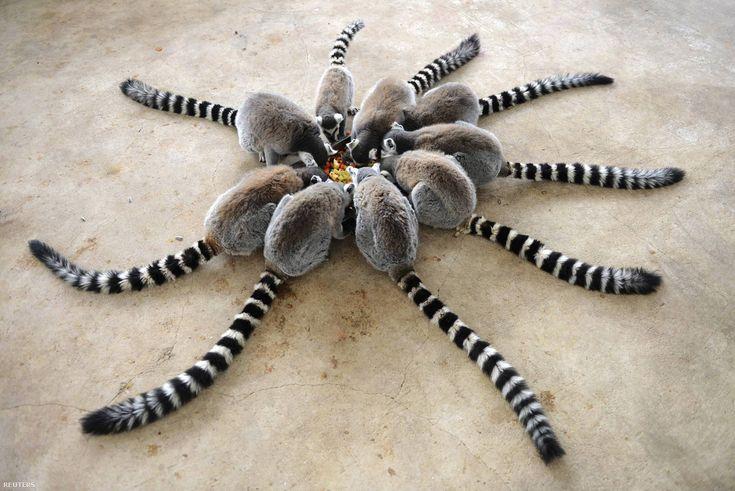 lemur l'amour