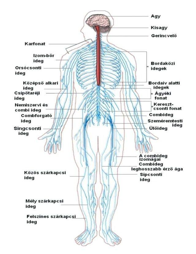 Diagram Of The Nervous System For Kids - koibana.info | Nervous system  anatomy, Peripheral nervous system, Human nervous systemPinterest