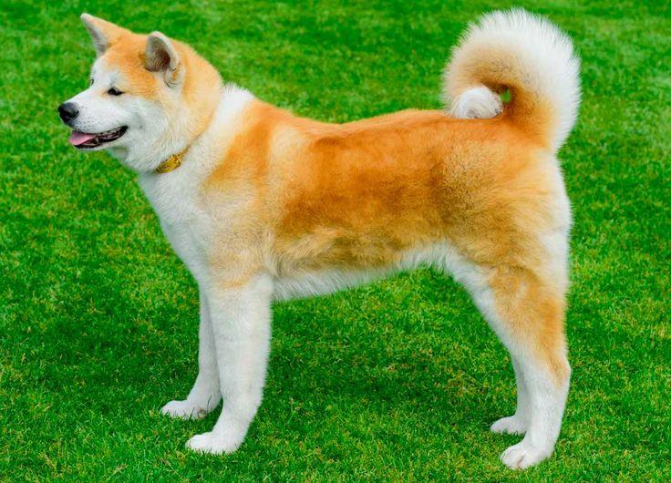 É originário do Japão. Conta-se que, durante a Segunda Guerra Mundial, a pele dos cães era usada para fabricar roupas militares. Então, a polícia ordenou a captura e o confisco de todos, menos o do Pastor Alemão, que era usado para fins de combate.   #Akita #Raçadecachorro