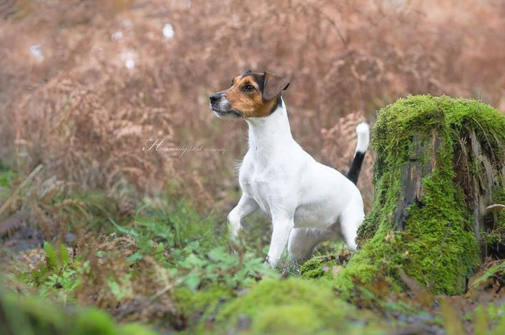 Jack Russell Terrier Kira by Heavenly Pet Photography #dog #dogs #terriers #photographer #nature #germany