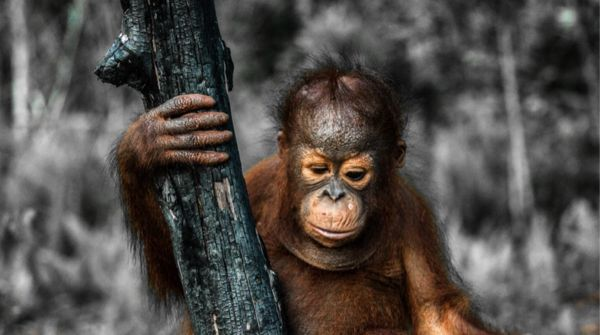 Orangutan holding onto a scorched tree_Please sign: 1,000 orangutans threatened by timber company   TAKE ACTION  >>  Dear friends of the rainforests, More than a thousand orangutans live in the peat swamp forests of Sungai Putri on Borneo, a location so remote that researchers only documented the population in 2007. This large orangutan colony is a glimmer of hope for the survival of the critically endangered primates.