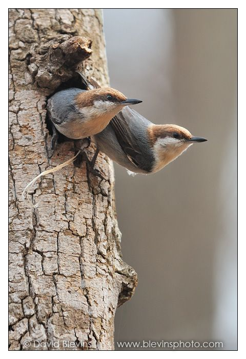 Male and Female Brown-headed Nuthatch preparing this year's Nest!