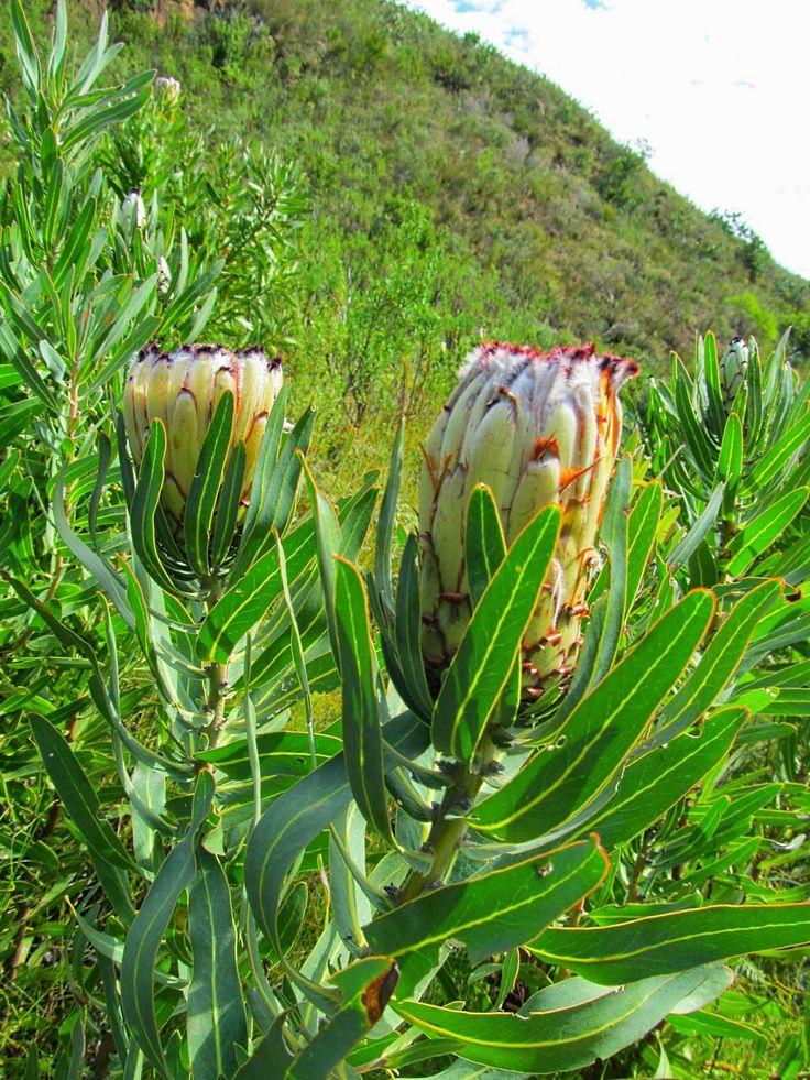 Beautiful Flora in #Stellenbosch South Africa.
