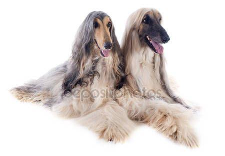 Descargar - Perros afganos — Imagen de stock #30002695