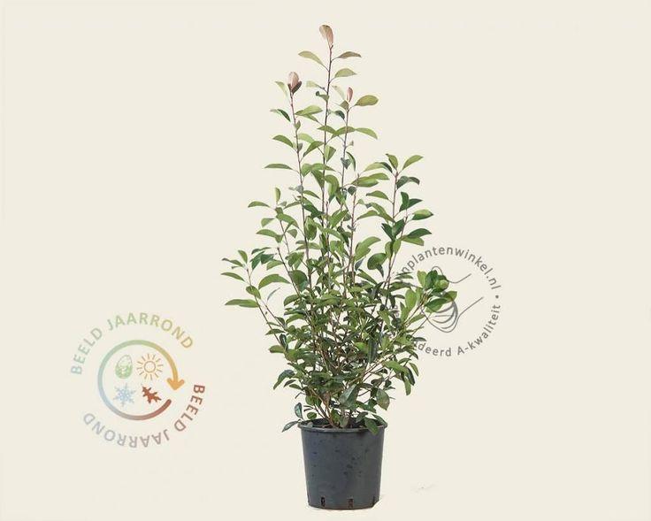 Photinia fraseri 'Red Robin' 100/125