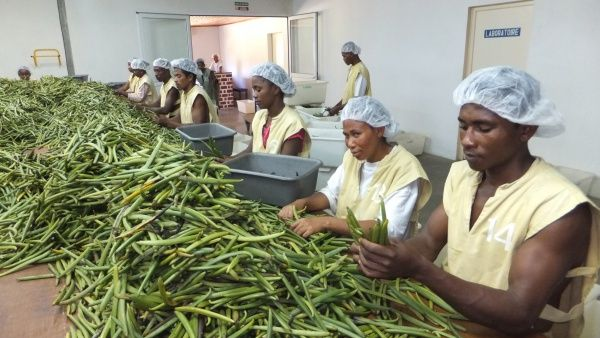 Vanilla processing at Floribis, Vohemar