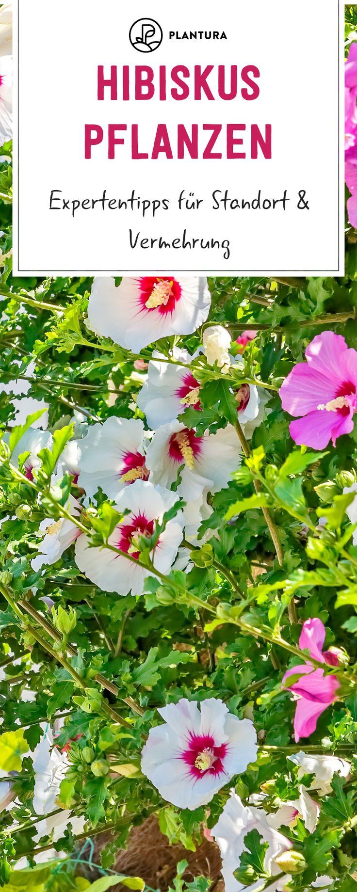 Hibiskus pflanzen: Expertentipps für Standort & Vermehrung