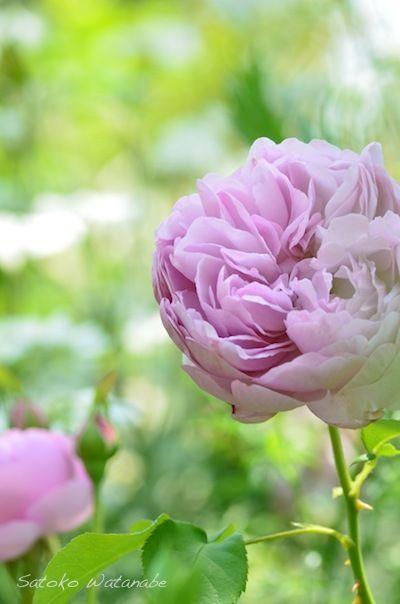 Rose チャールズ レニー マッキントッシュ(Charles Rennie Mackintosh) Rosa 'AUSren' 1988年 David Austin(UK) Shrub Rose, English Rose