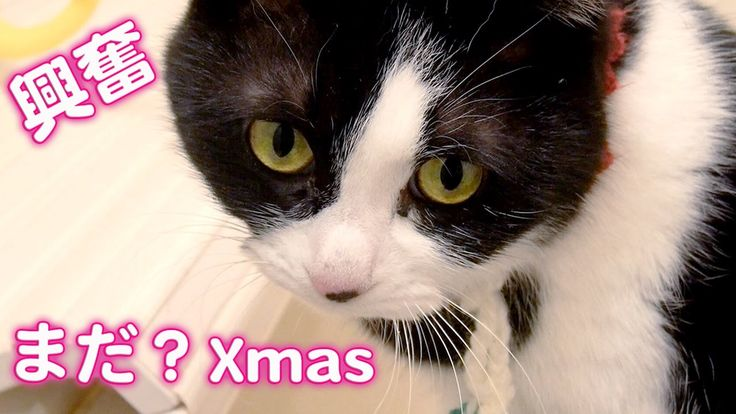 猫も待ち遠しいクリスマス?〜お風呂で猫と会話してたら興奮しちゃった! -Cute Cat Hatch Meowing and Exciting.