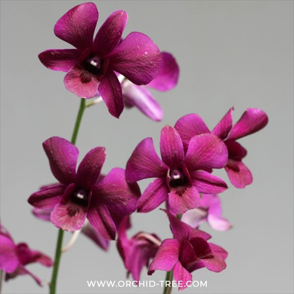 Dendrobium Black Red Orchids Dendrobium Orchids Orchid Tree